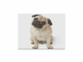 Fawn pug dog canvas print
